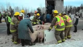 Un camion transportant des porcs se renverse à Saint-Alexandre