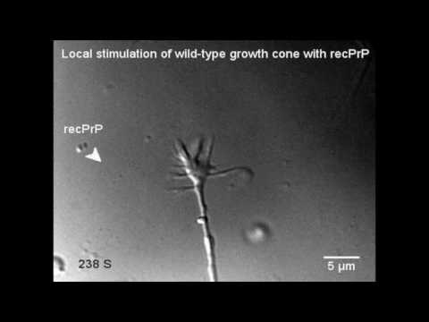 PrP induces neurite growth and cone growth turning