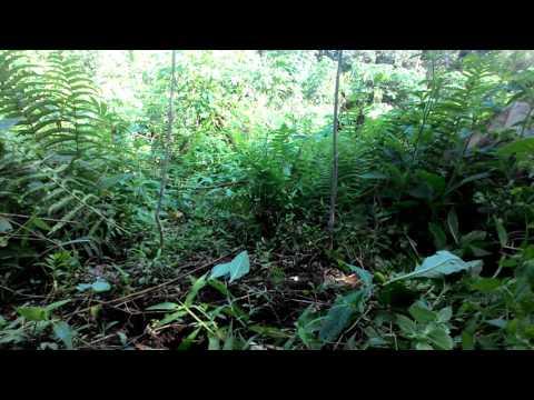 Mikat burung prenjak bambu