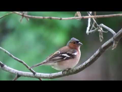 Bird Singing...a short film for cats