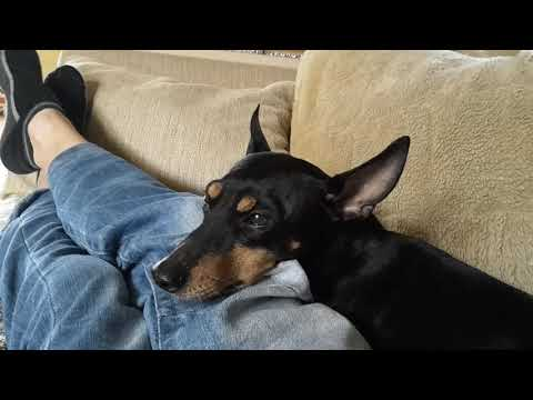 English toy terrier relaxing to David Bowie.