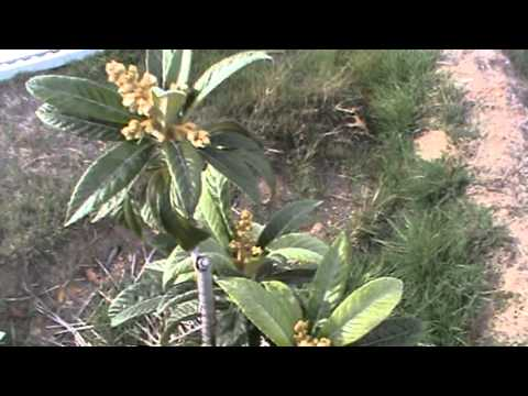 Loquat trees, fruit and flowers