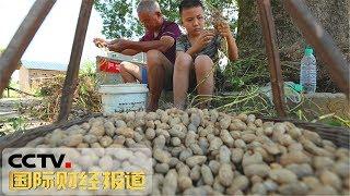 [国际财经报道]原产地访价格 夏花生上市在即 预计9月价格有回落  CCTV财经