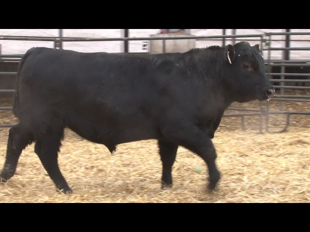 Schiefelbein Angus Farms Lot 334
