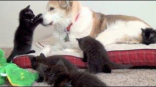 可愛い5匹の黒猫赤ちゃん! お母さんの代わりは…! <関連動画> しっぽ...