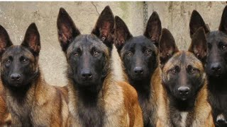 Malinois In Action!