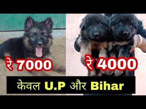 Only Bihar And U P German Shepherd
