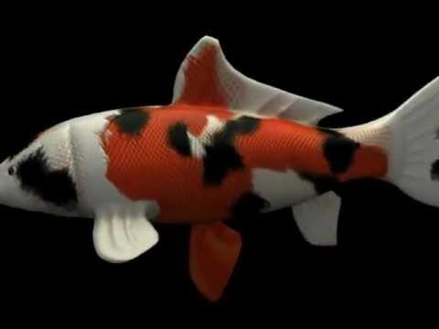 Koi fish 3d model youtube for Koi youtube
