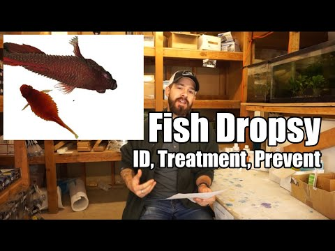 Fish Dropsy | Fish Bloat - Symptoms, Causes, Prevention & Treatment