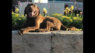 Rose 7mo Chesapeake Bay Retriever Nebraska Dog Trainers Lincoln Omaha