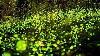 Шоу светлячков. Уникальные кадры! Куала-Селангор, Малайзия, недалеко от Куала-Лумпур.(Куала-Лумпур. Парк светлячков (Куала-Селангор, Малайзия) В этом видео мы покажем Вам что из себя представляе..., 2017-02-13T16:13:28.000Z)