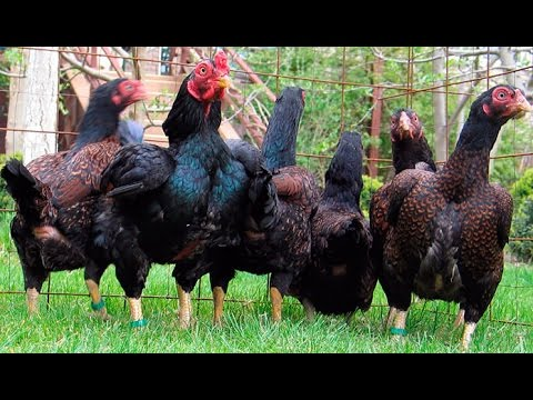 Large range of Aseel Hens in Different Colors 03459442750 Zain Ali farming in Pakistan