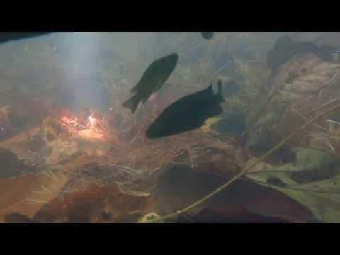 Stomatepia pindu in Lake Barombi Mbo
