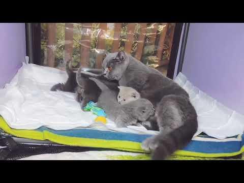Британские котята в возрасте 3 недели (Litter-O2)