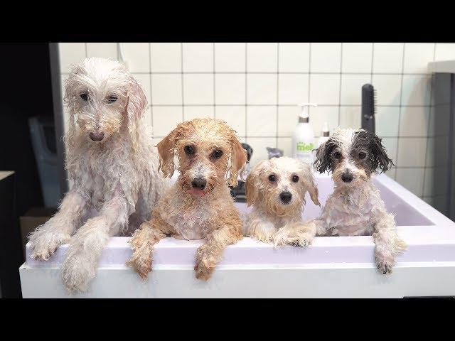 친구들과 목욕탕 간 강아지.