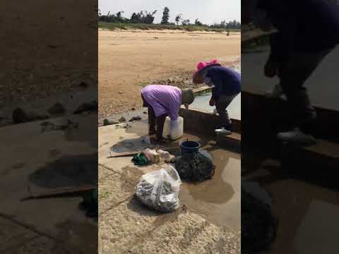 Taiwanese women on xaimen island clean oysters 2017