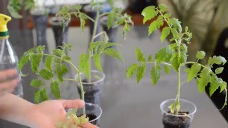 Смотреть видео  если помидоры плохо растут