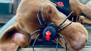 Funny Dog Reaction to Spider-Spider Prank on Dog-Playing with Labrador Retriever -Funny Dog Video