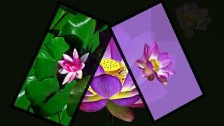 기쁨이열리는창삼락강변공원무궁화 수련,연꽃송이