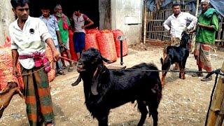 বানেশ্বর হাট থেকে উন্নত জাতের পাঠা ছাগলের দাম জানুন / Goat market price