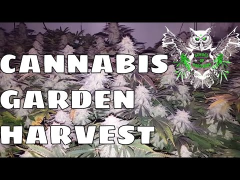 Sneak Peek of our Garden Harvest! ReCon and Blue Dream Close ups! Two of the Greats!