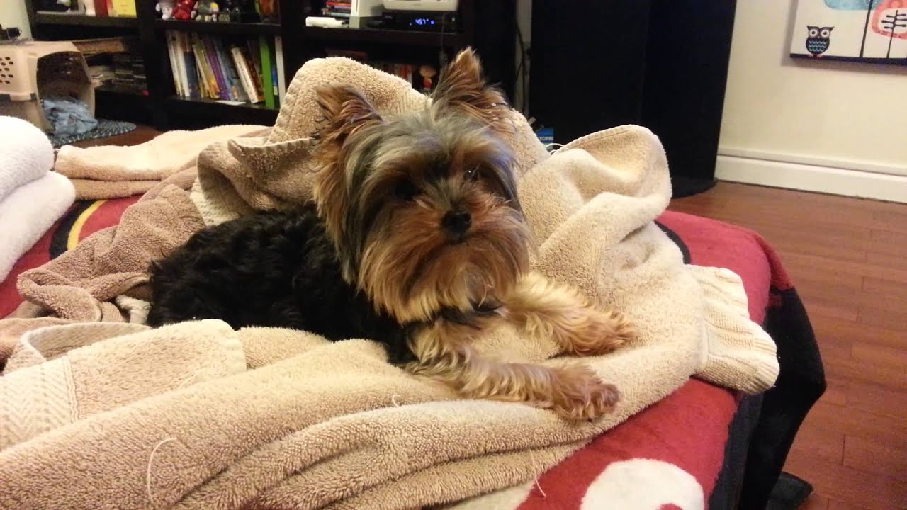Image result for yorkie tv