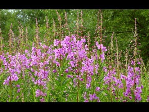 Кипрей узколистный (иван-чай) - Все травы - Алтайский травник