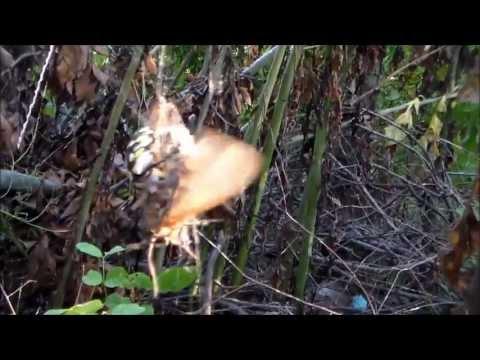 Spider Kills Huge Moth and Eats it