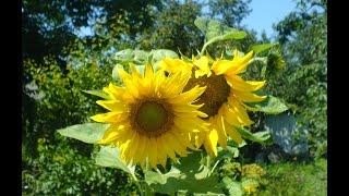 видео Подсолнечник декоративный: выращивание из семян, современные сорта, фото