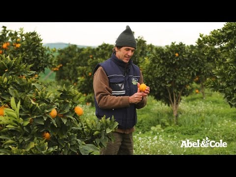 Organic Blood Oranges | Abel & Cole