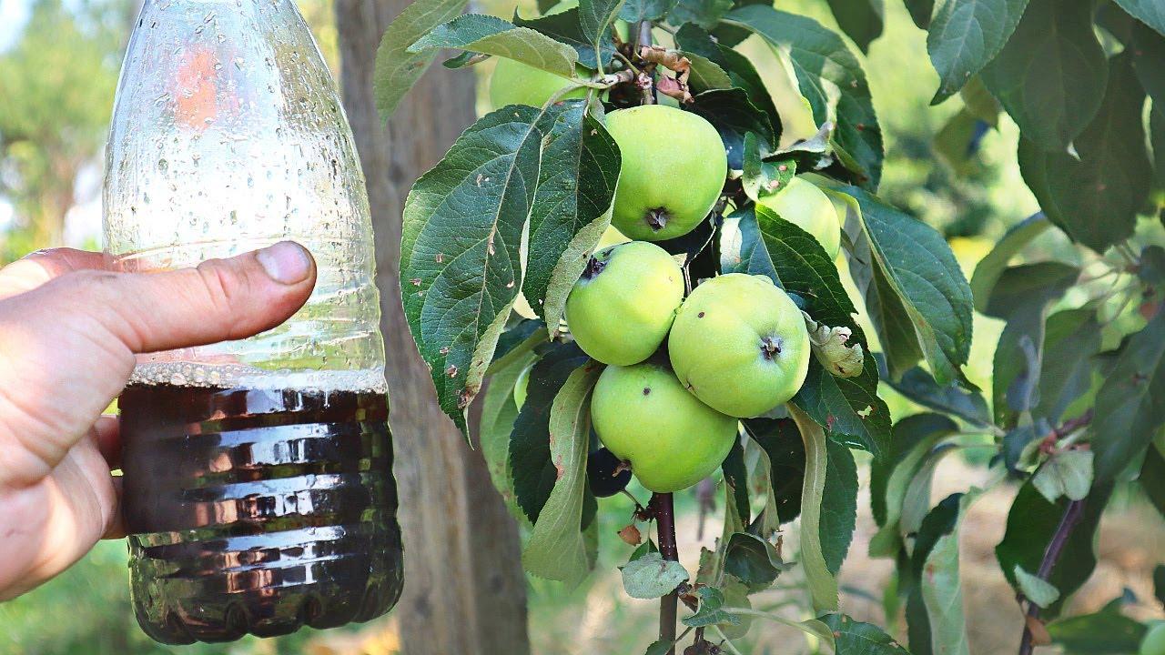 Мало кто знает что если вылить это под яблоню в июле-августе урожай будет в 3 раза слаще и крупнее!