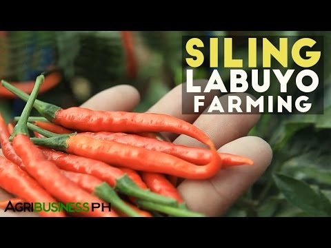 Siling Labuyo Farming : How to Grow Siling Labuyo | Agribusiness Philippines