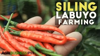 How to grow siling labuyo, siling taiwan or siling tingala #Agriculture
