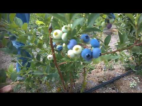Голубика: лесная ягода -