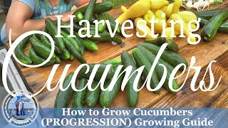 HD How to Harvest Cucumbers