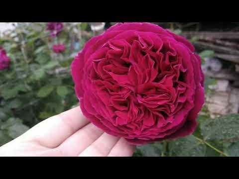 Англійські троянди в саду у Ганни. English Roses