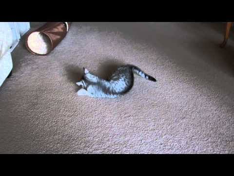 Egyptian Mau Cat Playing With Kong Beaver Catnip Toy