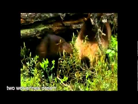 Wolverine Dreams Song : Wild Wildlife in Finland America : Environmental Song : NDR/Chadwick