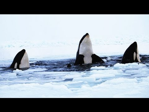 Killer whales trapped under sea ice struggle to survive
