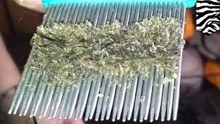 видео Живут ли вши на окрашенных волосах