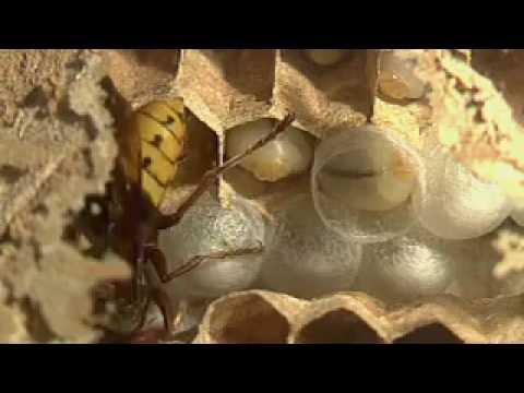 Hornissen :  Larven bei der Verpuppung