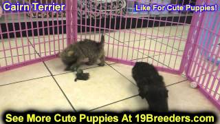 Cairn Terrier, Puppies, For, Sale, In, Philadelphia, Pennsylvania, Pa, Borough, State, Erie, York