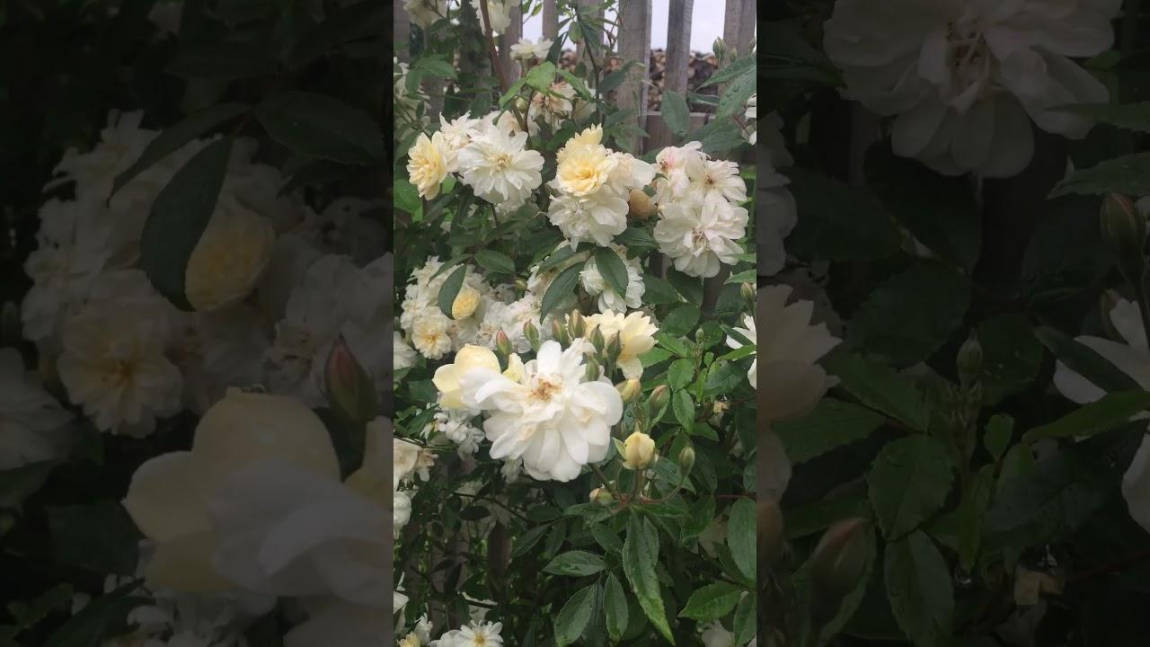 Englische Rose: Rambler 'Snow Goose' im Schaugarten GaLAROSA