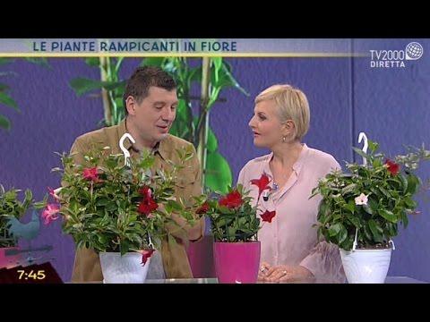 Le piante rampicanti in fiore