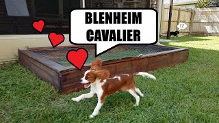 Blenheim Cavalier King Charles Spaniel  Random Facts