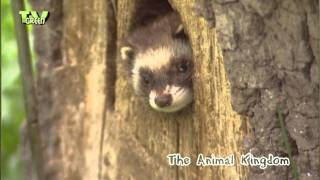 Animal Kingdom - Polecat & otter