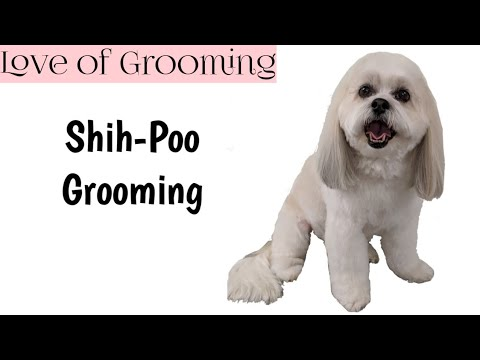 How to Groom a Shih-Poo with Comb Attachments and a Scissor Finish