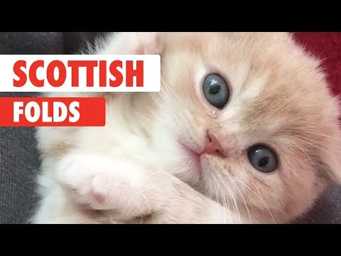 Scottish Fold Cats Compilation 2018
