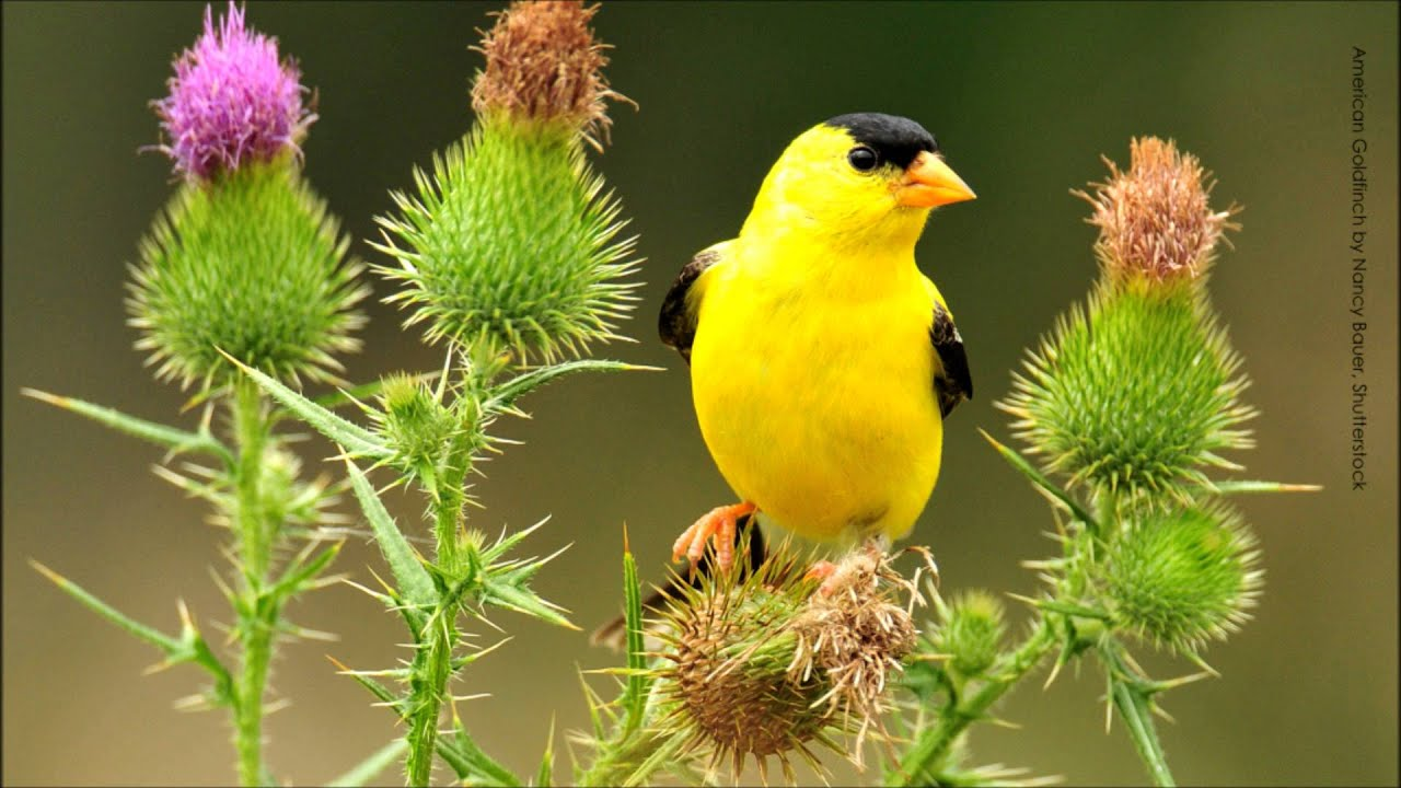 American goldfinch song youtube for Gold bird wallpaper