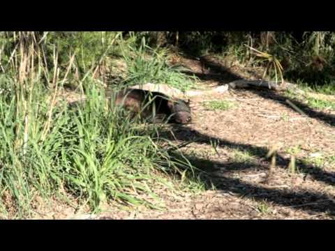 Тасманский дьявол в Австралии